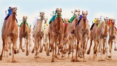 أكبر مهرجان للإبل في العالم يساعد في جعل المدينة السعودية الوجهة السياحية الأولى