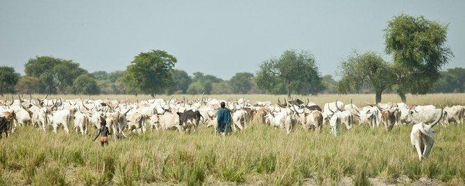 المملكة العربية السعودية تحظر استيراد الماشية من السودان وجيبوتي بسبب مخاوف من حمى الوادي المتصدع