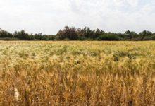 الجزائر تحد من واردات القمح في محاولة لتوفير العملة الأجنبية