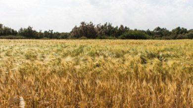 Photo of الجزائر تحد من واردات القمح في محاولة لتوفير العملة الأجنبية